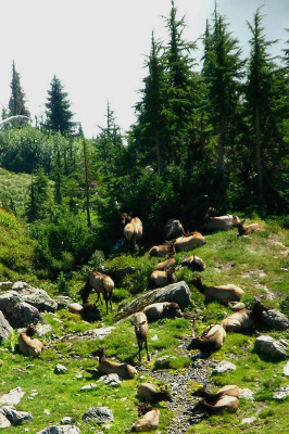 Herd of twenty-two Roosevelt Elk lounging in sunny subalpine Olympic National Park wilderness above the valley fog