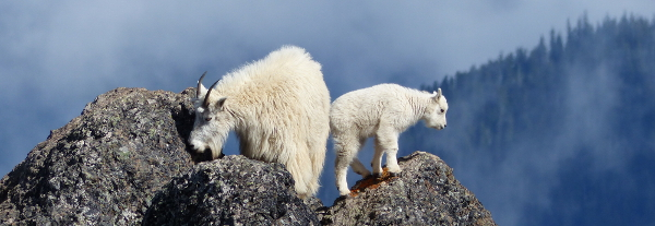 An adult and young Mountain Goat are perched on lichen-covered boulders with blue clouds in the background