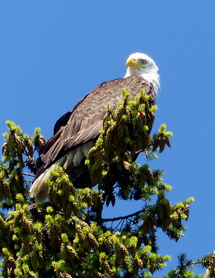 The gleaming yellow eye of an adult Bald Eagle looks down at you from the top of a tall Douglas Fir tree laden with cones