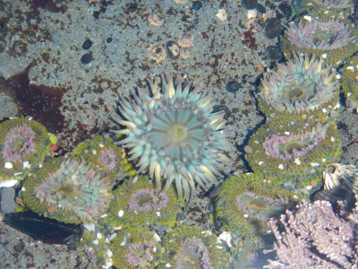 Pink-tipped Aggregating Anemones touching each other in a tidepool with pink coraline algae coating much of the rocky surfaces