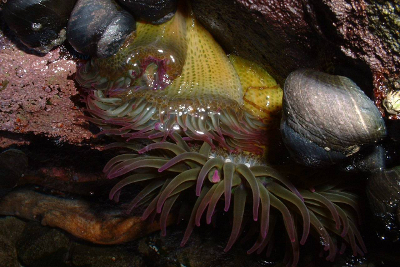Aggregating Anemone with pink-tipped tentacles outspread underwater