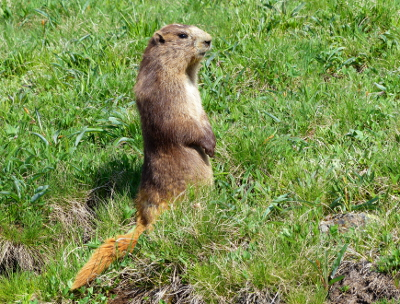 An Olympic Marmot with a golden tail stands on its hind legs and looks around inquisitively