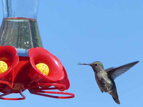 A pale green female Anna's hummingbird hovers next to a red hummingbird with its beak open