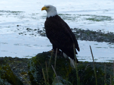 An adult Bald Eagle sits on a rock with the Salish Sea in the background