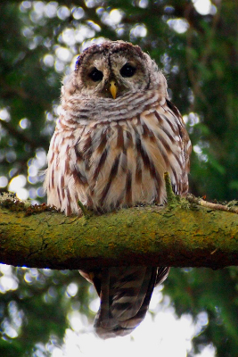 Portrait of a Barred Owl on the branch of a tree