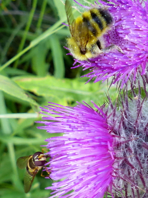 The flower of the higher thistle flower is being pollinated by a bee while the lower thistle flower is being pollinated by a fly mimicking a bee