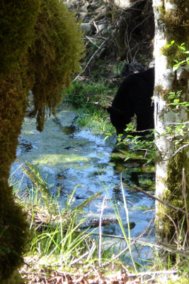 Head and shoulder shot of bear grazing on Elwha River vegetation with a mossy bank and tree framing the shot