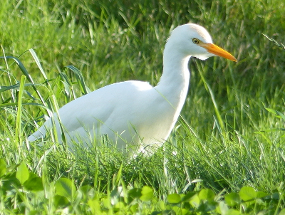 Close-up of a Cattle Egret, a vagrant in Neah Bay, Washington in the late fall of 2014