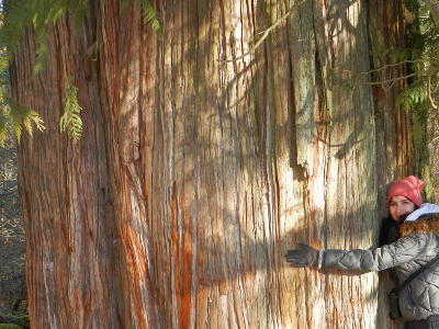 A woman hugs an old-growth Western Red Cedar tree that significantly larger than her armspan