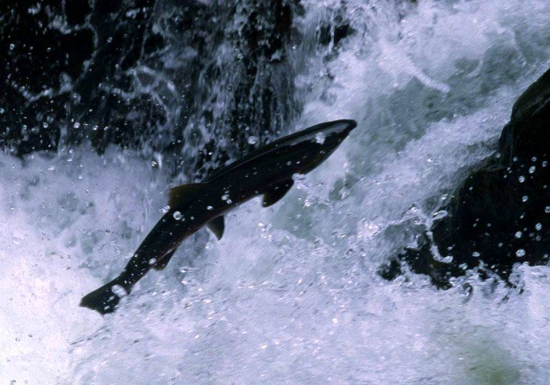 Coho Salmon jumping out of the water to get past a barrier in the river