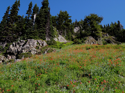 Large field of red columbine and bluebells with stunted subalpine conifers and blue sky in the background