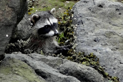 Raccoon partially hidden on a rocky shore feeding with its small dexterous hands