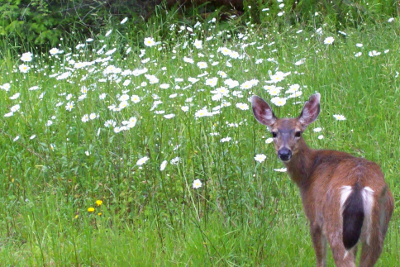 Black-tailed deer with clear view of all black tail in a meadow full of daisies