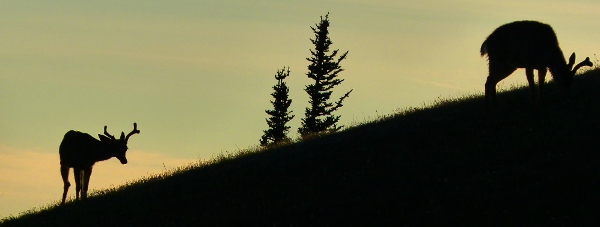 Silhouettes of two trees and two male Columbian Black-tailed deer, one is looking up and the other is actively grazing in a meadow