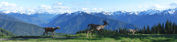 Three Columbian black-tailed deer wander across a lush green meadow at Hurricane Ridge with the Olympic Mountains in the distance