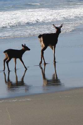 Fawn following in mother deer's footprints seen while touring the Olympic Peninsula