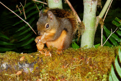 A super cute Douglas Squirrel eating a conifer cone makes for great Olympic National Park wildlife viewing
