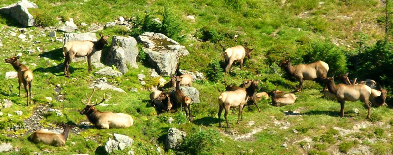 A herd of fifteen Roosevelt Elk relax in a subalpine meadow