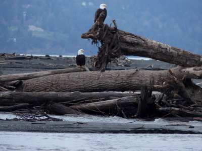 Two adult bald eagles sit perched on top of a log jam at the mouth of the Elwha River