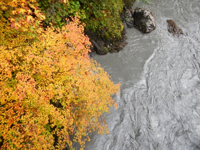 Contrasting dark grey sediment enriched Elwha River against the bright yellow fall leaves of the Vine Maple