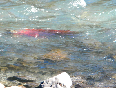 A bright red salmon is pictured underwater swimming against the current of the Elwha River