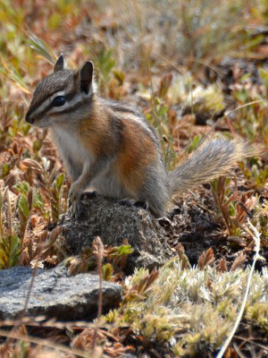 The endemic Olympic Chipmunk, which has very defined gray haunches, sits on top of a rock in a subalpine meadow on the Olympic Peninsula