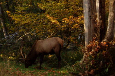 Male Roosevelt Elk grazing with yellow fall shrubbery in the background