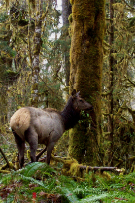 A large healthy female elk in a mossy forest with ferns