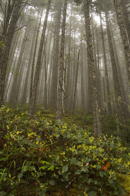 Salal and Red Alder forests pictured in the fog help to show the glory of Olympic National Park under variable weather conditions