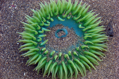 Close-up of an open Giant Green Anemone out of water in the sand