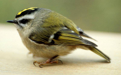 Close-up of a Golden-crowned Kinglet, a small grayish yellow bird with a yellow crown bordered in black