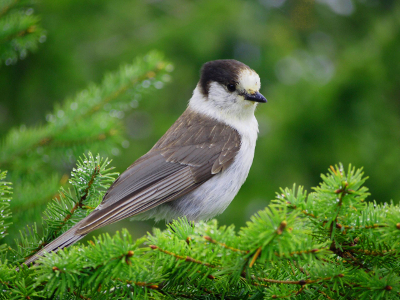 Profile shot of a Gray Jay sitting on a conifer branch
