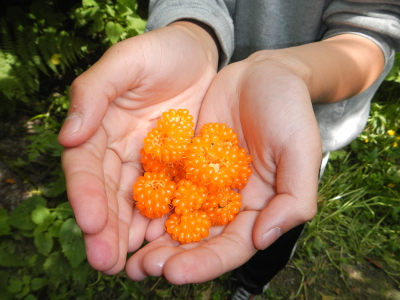 Close-up of a boy's hands cupped together and holding some beautiful yellow salmonberries