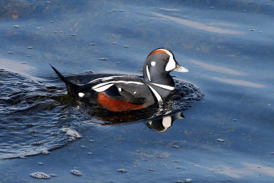 Close-up side view of a male Harlequin Duck in breeding plumage
