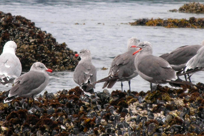 Heermann's Gulls as seen on mussel beds during tidepool tours have dark gray bodies and bright orange black-tipped bills