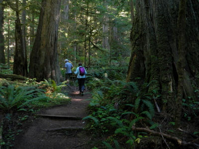 Two hikers wind around old-growth Western Cedar trees and Sword Ferns in an old-growth montane forest
