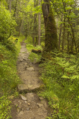 Olympic National Park Hiking trail with enhanced bright green shrubbery bordering the trail