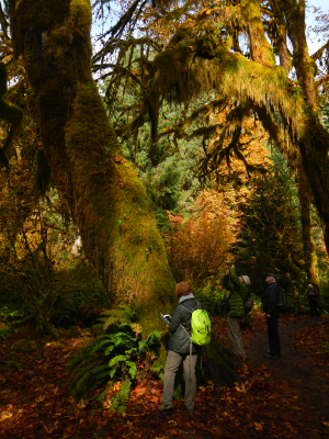 Participants photographing Big Leaf Maple trees on the Hall of Mosses trail in the Hoh Rainforest
