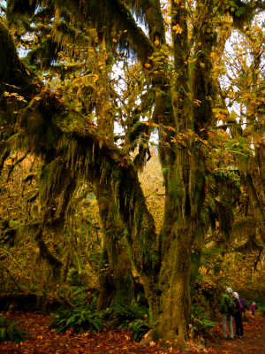 Two participants look very small next to huge Big Leaf Maples trees draped in moss in the fall