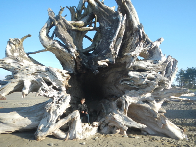 Huge root wad stranded on an Olympic National Park beach with a boy standing in the middle for size comparison