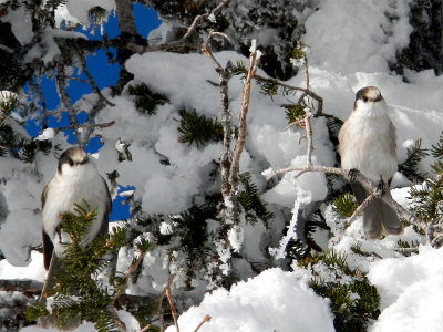 Two curious gray jays sit in a snow and ice covered subalpine fir tree hoping for a handout at Hurricane Ridge