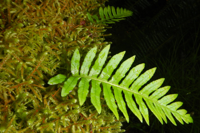 Close-up of a Licorice Fern on a moss-covered branch in Washington State