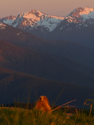 A golden Olympic Marmot looks out among the grass with the colors of the sunset reflected in the snowclad Olympic mountains