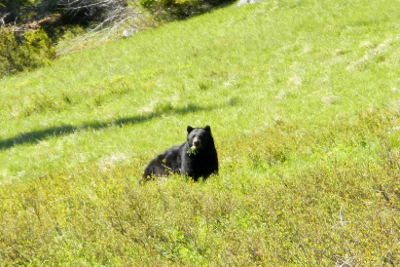 Large healthy adult Black Bear eating grass in a meadow