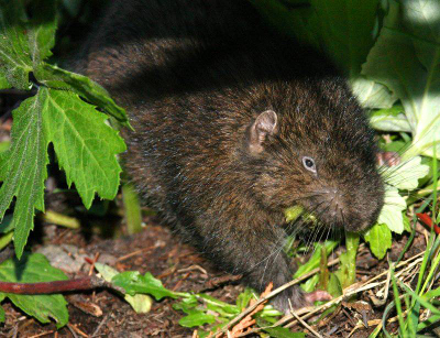 Close-up of a Mountain Beaver showing its human-like ears and otherwise rodent-like features