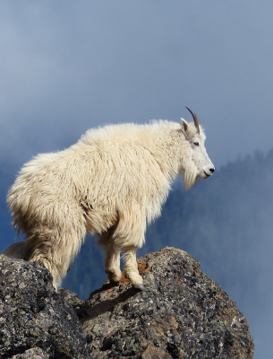 A mountain goat stands like a sentinel on a lichen-covered rocky precipice against a beautiful blue cloudy background