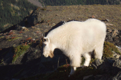 Large healthy-looking Mountain Goat in the alpine