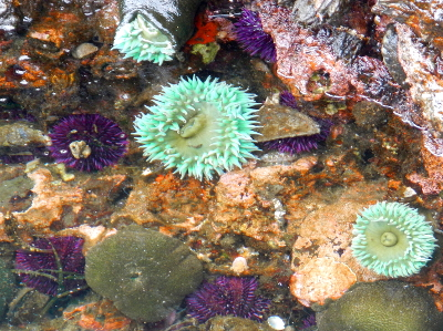 A Pacific Northwest tide pool is shown here populated with Purple Urchin and Giant Green Anemone