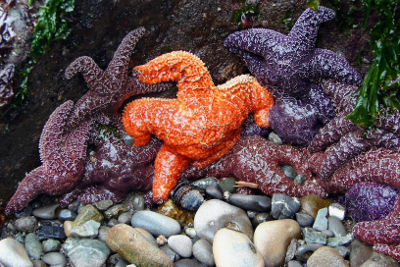 A group of about twelve Olympic National Park Ochre Stars, commonly called starfish, the center one is orange while the rest are different shades of purple