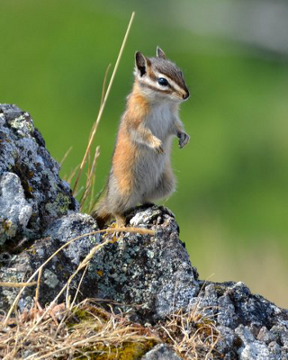 Closeup of the endemic Olympic Chipmunk standing on its hind feet on a lichen-covered rock with a nice contrasting green background